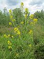 20170512Barbarea vulgaris1.jpg