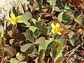20170921Oxalis corniculata1.jpg
