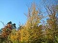 20171014Carpinus betulus8.jpg