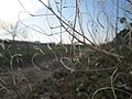 20180221Diplotaxis tenuifolia3.jpg