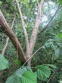 20190610Vitis vinifera subsp. sylvestris1.jpg