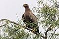 20191213 Aquila nipalensis, Jor Beed Bird Sanctuary, Bikaner 0919 8254.jpg