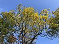 2020-10-22 12 03 57 The canopy of a Black Locust turning yellow in autumn along a walking path in the Franklin Farm section of Oak Hill, Fairfax County, Virginia.jpg