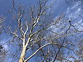 2021-03-11 14 49 11 The crown of an American Sycamore in winter in a forested area within the Franklin Farm section of Oak Hill, Fairfax County, Virginia.jpg