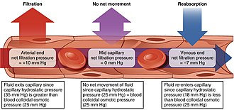 Capillary - Depiction of the filtration and reabsorption present in capillaries.