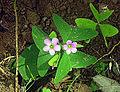 25.oxalis.latifolia (9885641486).jpg