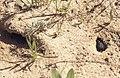 2 types of burrowing beetle. River Ruta (37047646504).jpg