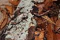 4th instar Deroplatys lobata nymphs 5982453.JPG