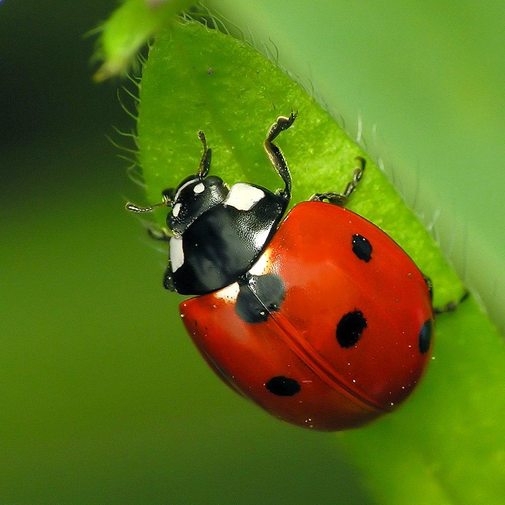Insectos beneficiosos para la huerta
