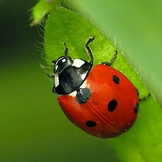 Coccinella septempunctata - Image: 7 Spotted Ladybug Coccinella septempunctata sq 1