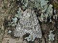 73.039 BF2279 The Sycamore, Acronicta aceris (3127155613).jpg