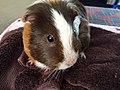 A Baby guinea pig.jpg