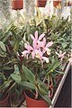 A and B Larsen orchids - Cattleya loddigesii 332-13.jpg