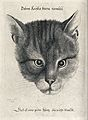 A cat's face. Etching by W Hollar, 1646. Wellcome V0021495.jpg