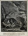 A fight between a young stag and a lynx in which both die. E Wellcome V0020995.jpg