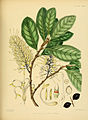 A hand-book to the flora of Ceylon (Plate LXXIX) (6430659811).jpg