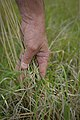 A hand pulls back grass for inspection on pastureland in Anson, Texas. (24742906129).jpg