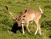 A large antlered buck stumbling.jpg