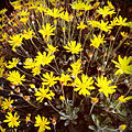 A lot of yellow flowers.jpg