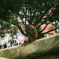 A monkey eating a seized pack of sweet sugar in Pashupatinath Temple.png