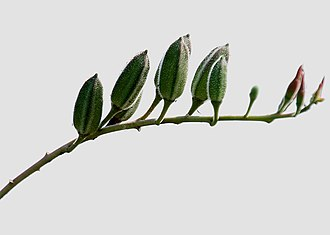 Abelmoschus ficulneus - Image: Abelmoschus ficulneus (Jungli Bhendi) fruit in Kawal, AP W IMG 2218