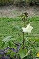 Abelmoschus manihot in Jardin des plantes de Paris 01.jpg