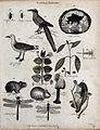 Above, three insects, a shrike, a mineral, a gull, a sprig o Wellcome V0020670ER.jpg