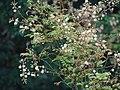 Acacia caesia 02.JPG