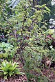 Acacia cornigera 7zz.jpg