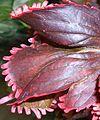 Acalypha wilkesiana 2015-06-01 OB 255b.jpg