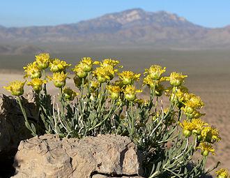 Acamptopappus - Acamptopappus shockleyi on the California-Nevada border