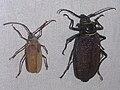 Acanthinodera cumingi.jpg