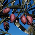 Aceitunas de la variedad cornicabra.png