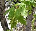 Acer grandidentatum.jpg