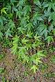 Acer oliverianum subsp. formosanum - Hillier Gardens - Romsey, Hampshire, England - DSC04742.jpg