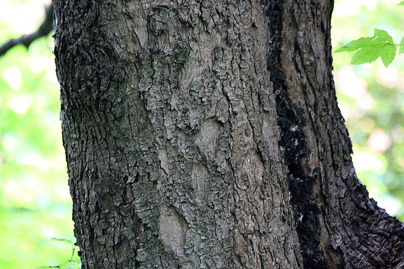 "File:Acer pseudoplatanus ""Worley"".jpg"