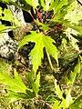 Acer saccharinum 002.jpg