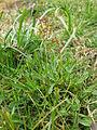 Acetosella vulgaris plant4 (11507898826).jpg