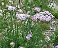 Achillea roseoalba Pink White Yarrow თეთრმოწითალო ფარსმანდუკი.JPG