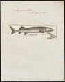 Acipenser huso - 1700-1880 - Print - Iconographia Zoologica - Special Collections University of Amsterdam - UBA01 IZ14400017.tif
