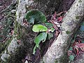 Acrotrema agastyamalanum-2-chemungi hill-kerala-India.jpg
