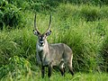 Adult Waterbuck.jpg