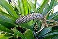 Aechmea maculata - Marie Selby Botanical Gardens - Sarasota, Florida - DSC01696.jpg