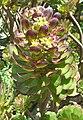 Aeonium arboreum (1).jpg