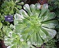 Aeonium undulatum.JPG