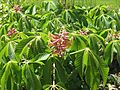 Aesculus pavia rosea nana - Flickr - peganum (2).jpg