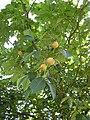 Aesculus x Carnea 'brioti' fruits.jpg