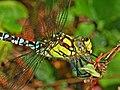 Aeshnidae - Aeshna cyanea (male close-up).JPG