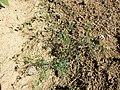 Aethusa cynapium subsp. cynapium s. lat. sl2.jpg