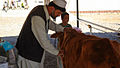 Afghan Vet Assessing Health of Cow.jpg